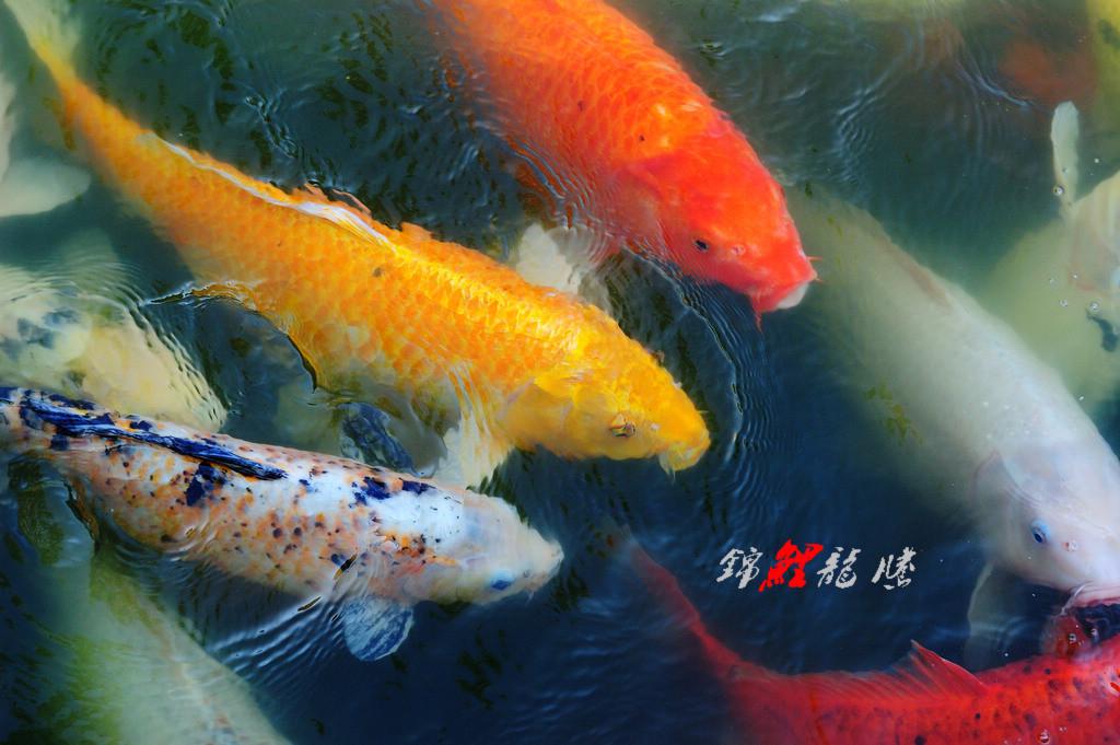 xudeyue作品:锦鲤龙腾