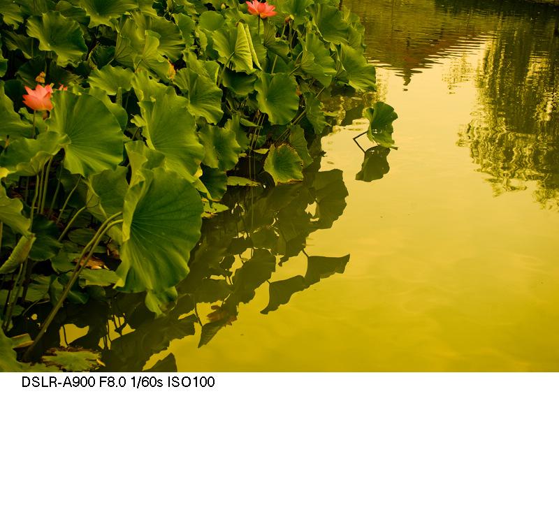了扎咧作品:金色荷塘(组图)