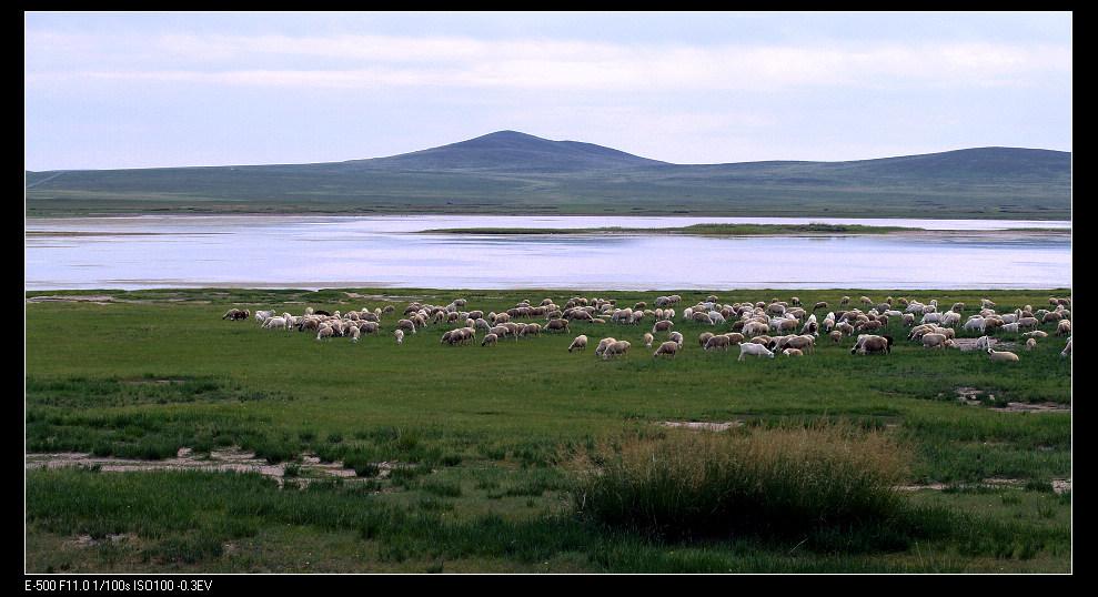 马前草作品:风吹草低见牛羊