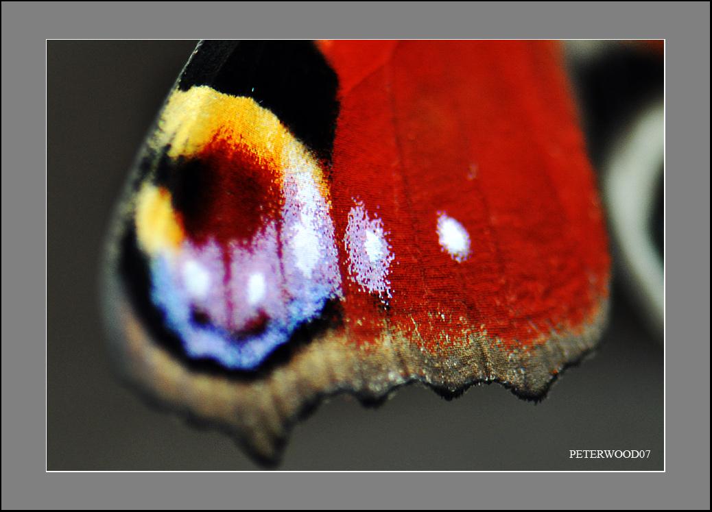 peterwood07作品:<自然之美 - 孔雀蛱蝶> (组图)