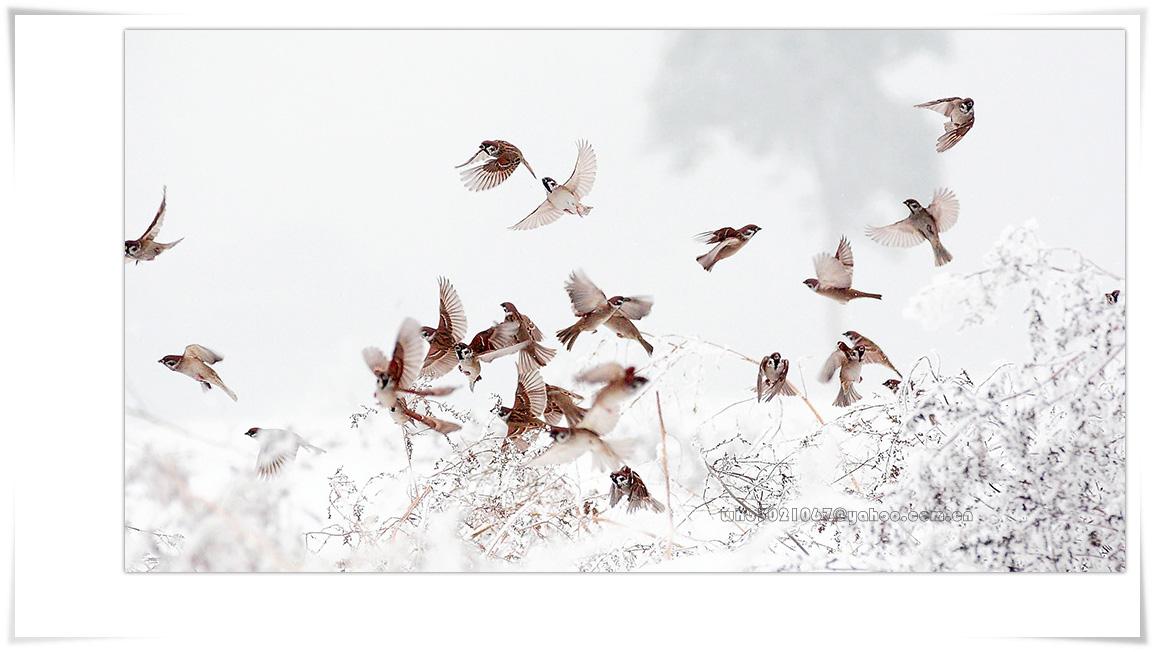 """""""千里眼""""作品:雪中飞舞的麻雀"""