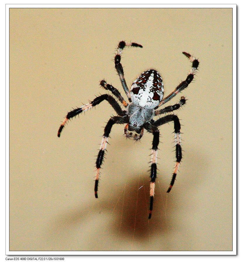 wql576作品:蜘蛛