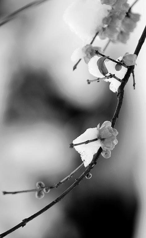 shizishang作品:梅