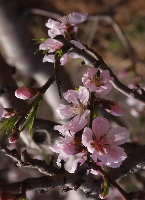 柞树林作品:桃花(5)
