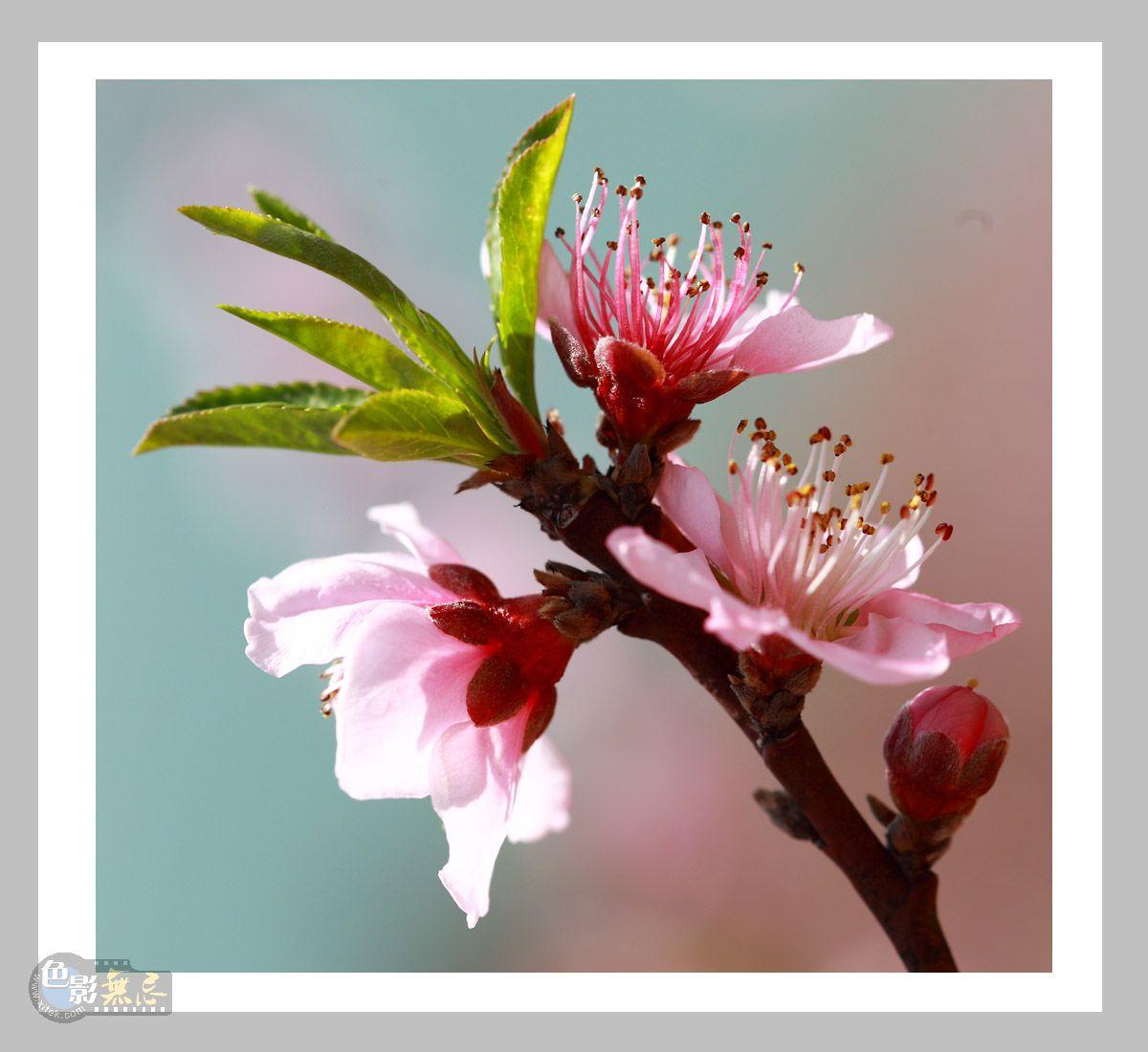 三峡风光作品:桃花