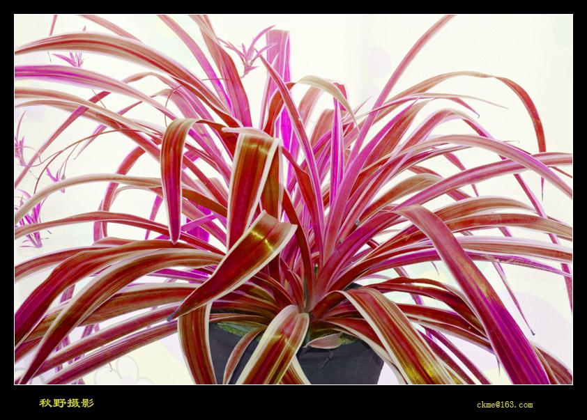 秋天的原野作品:紫色吊兰