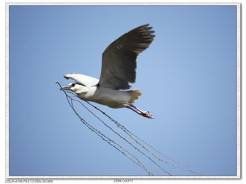 春天来了,动物园的夜鹭飞来飞去忙折柳枝给小宝宝建巢 -zh971摄影作