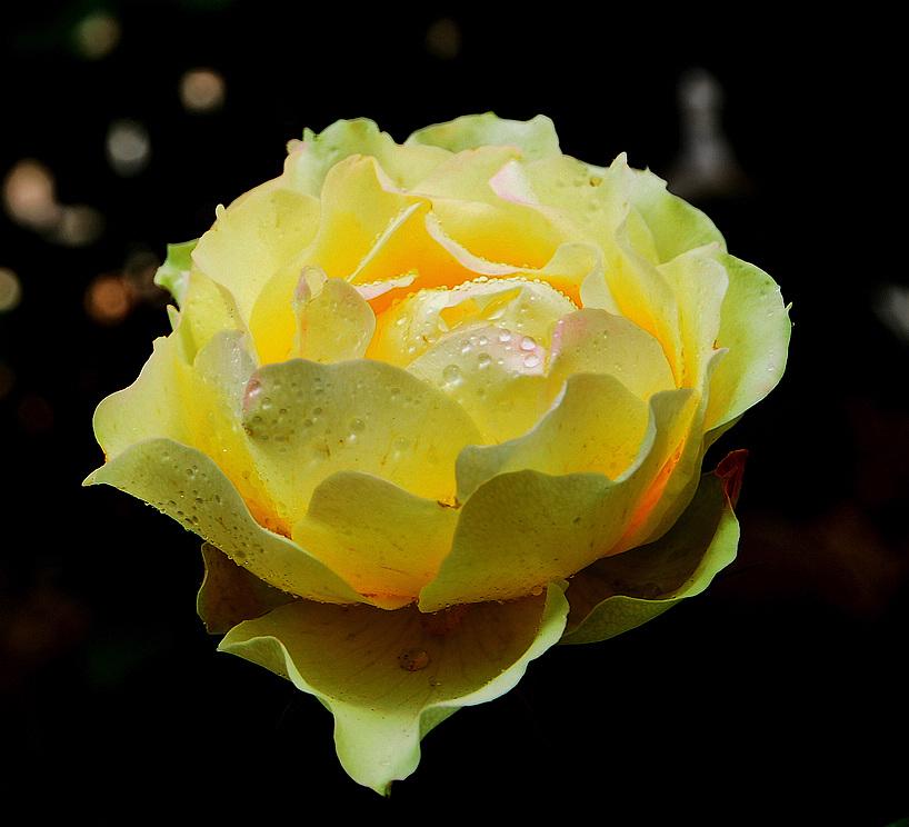 世纪金鼎作品:华贵的《黄玫瑰》献给母亲节!
