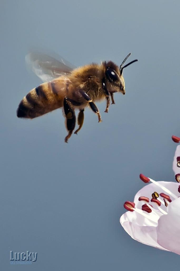 luckyangman作品:蜜 蜂
