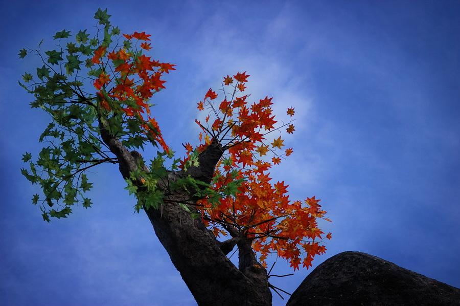 枫叶代表着秋天,就好像玫瑰代表着爱情 -donycheng摄影作品 秋之美