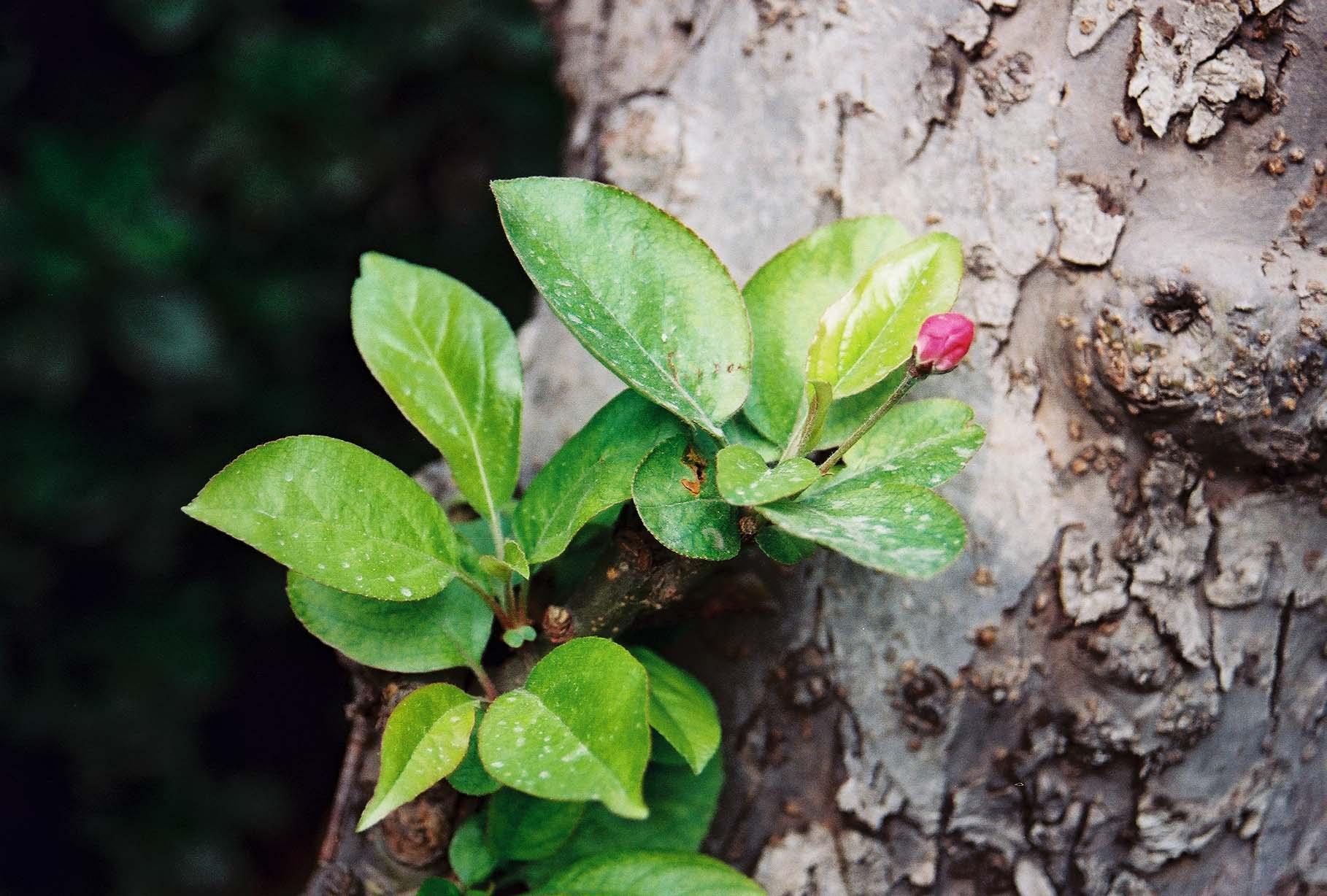 weseeflower作品:春 海棠