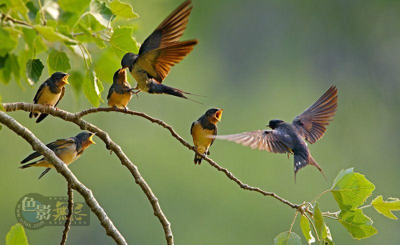 花翁作品:燕子育雏