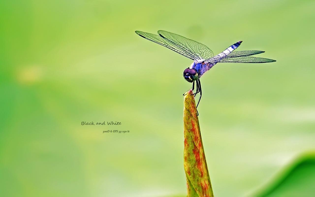 blackANDwhite作品:蜻蜓