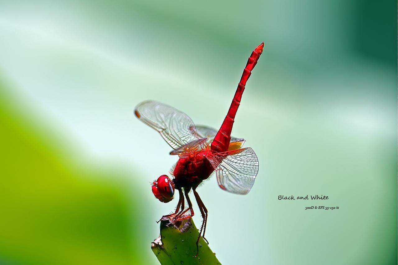 blackANDwhite作品:竖蜻蜓