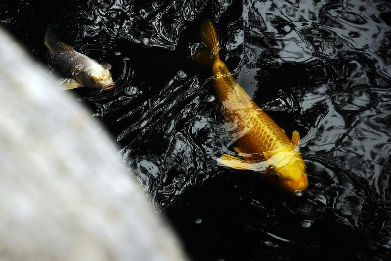 南山一望作品:金色鲤鱼