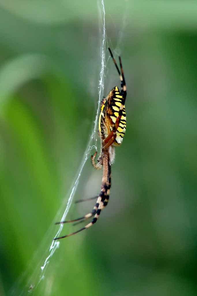 luckyangman作品:毒蜘蛛