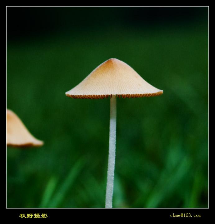 秋天的原野作品:雨后小菇