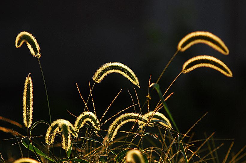 清晨的霞作品:狗尾巴草