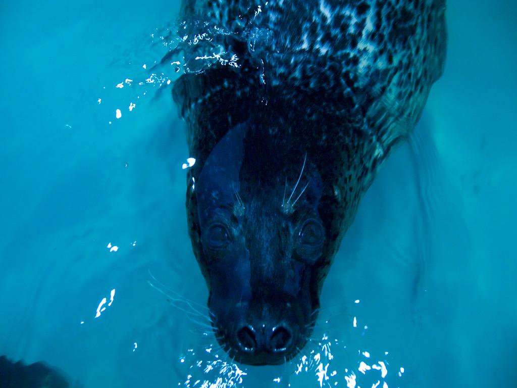 bluespan作品:斑海豹