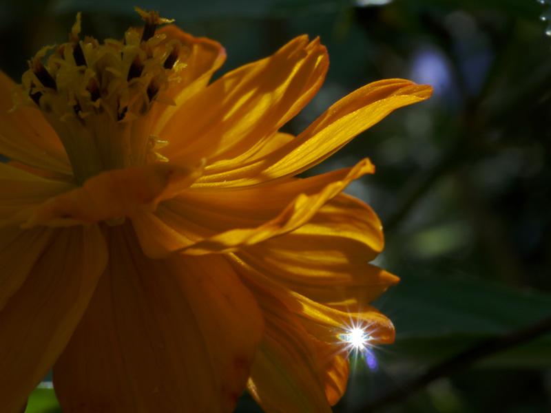 kotea作品:橘菊