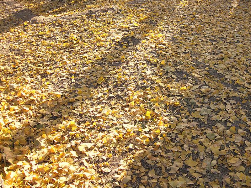 又是满地银杏叶,又是一年秋天