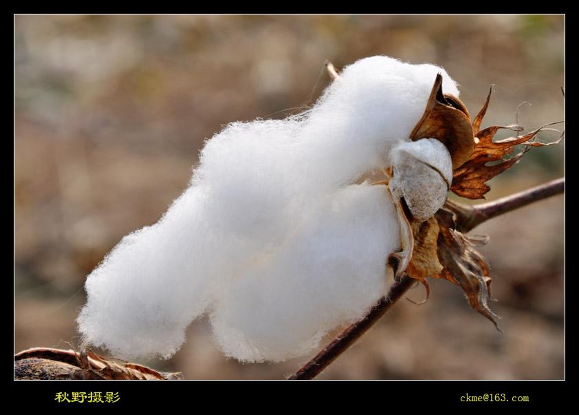 秋天的原野作品:棉花