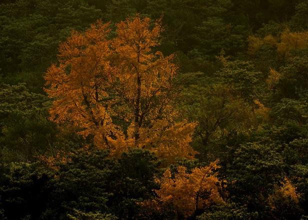 一棵银杏树