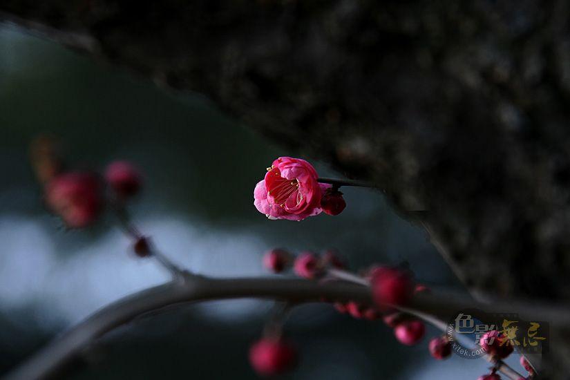 聆听细雨作品:寒梅飘香