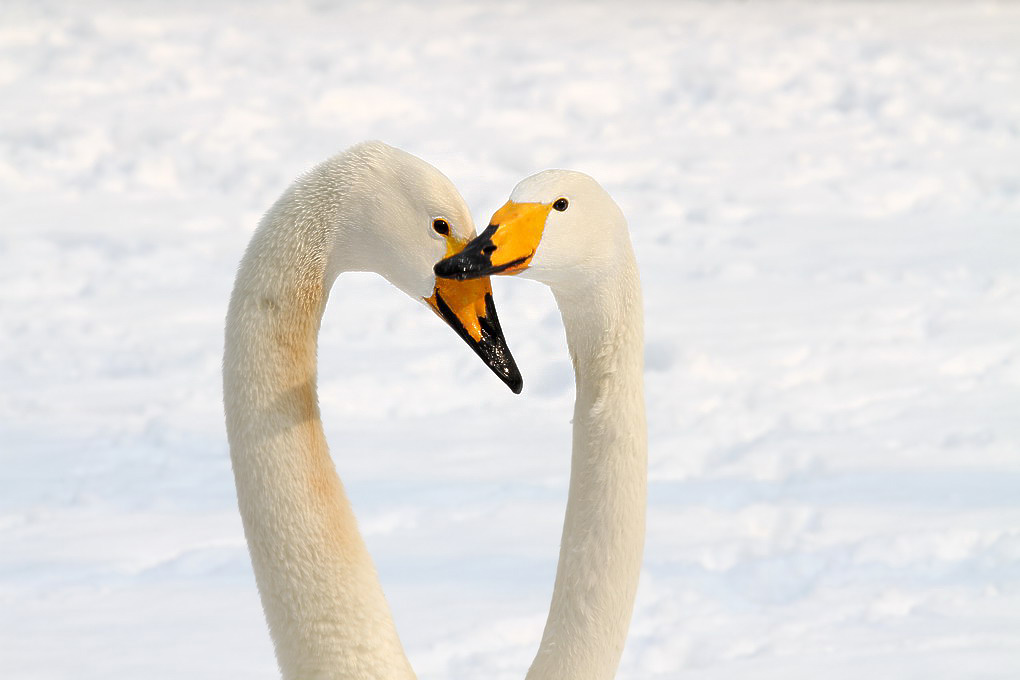 不言摄影作品 不离不弃 -白天鹅