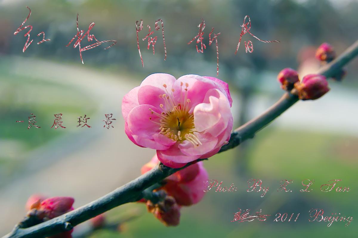 良晨玫景作品:红梅报春