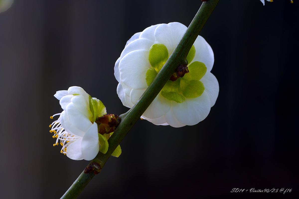良晨玫景作品:绿萼