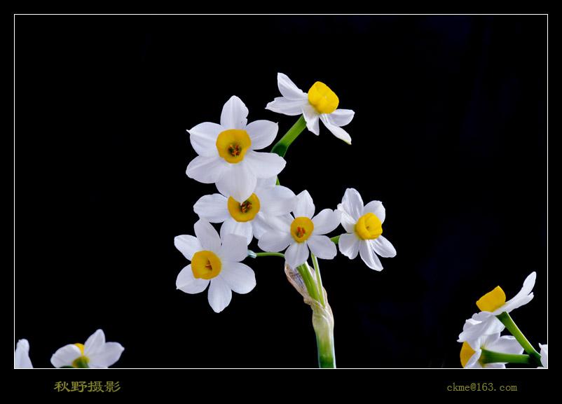 秋天的原野作品:水仙花