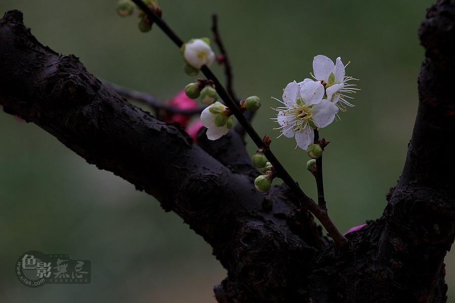 浮光随日作品:虬枝新梅