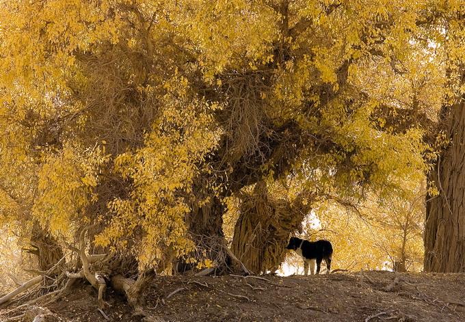 森林小鹿摄影作品 胡杨林中的藏獒