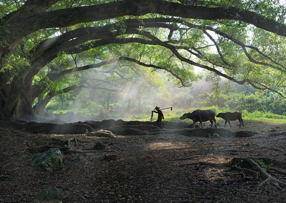 ljc619作品:榕树-老农和牛