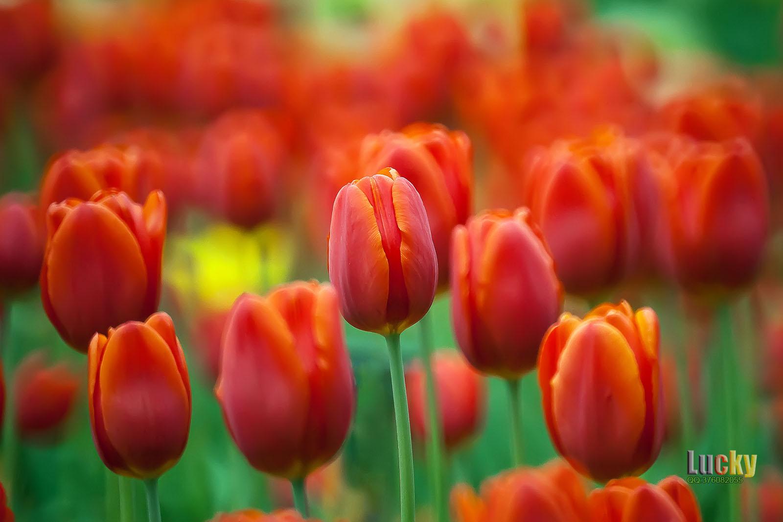luckyangman作品:花儿为什么这么红