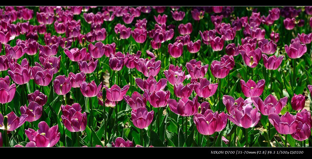 sunge作品:紫色郁金香
