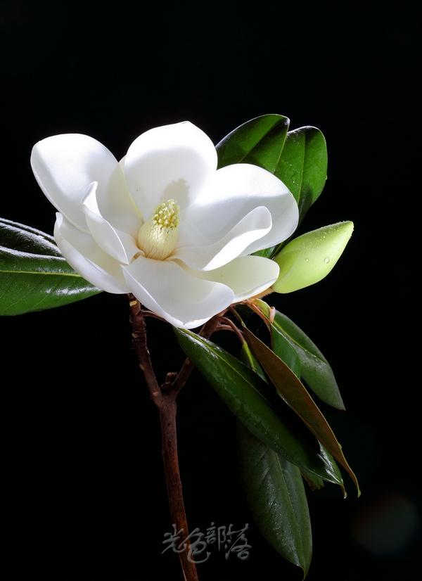 会东供水作品:白玉兰花