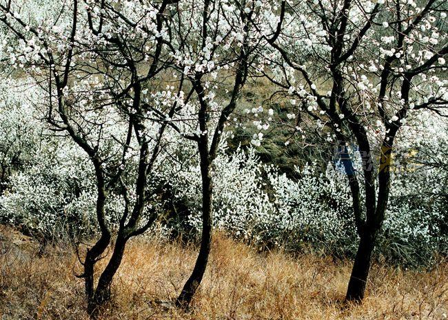 xzg301作品:杏花如雪