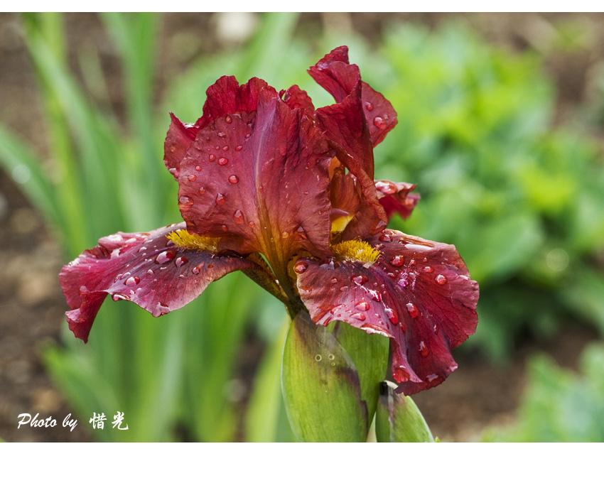 惜光作品:紫棕色的鸢尾