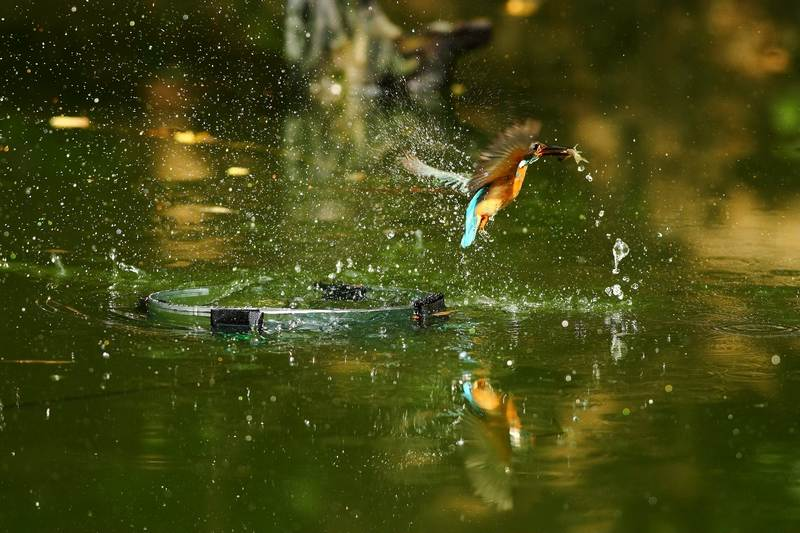 小程的故事作品:翠鸟出水