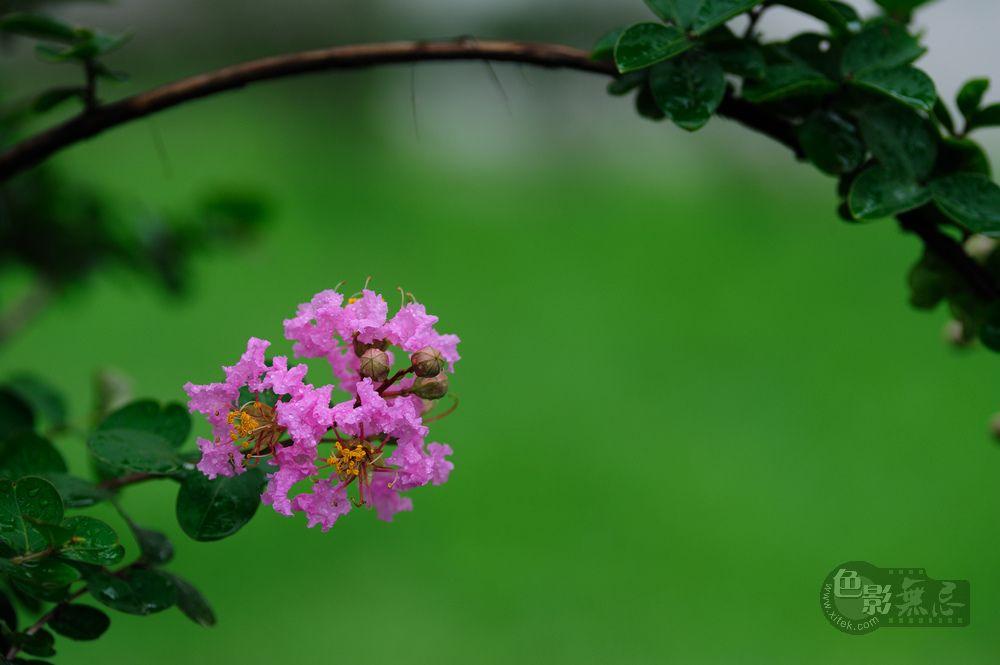 洋溢凡作品:雨后紫薇