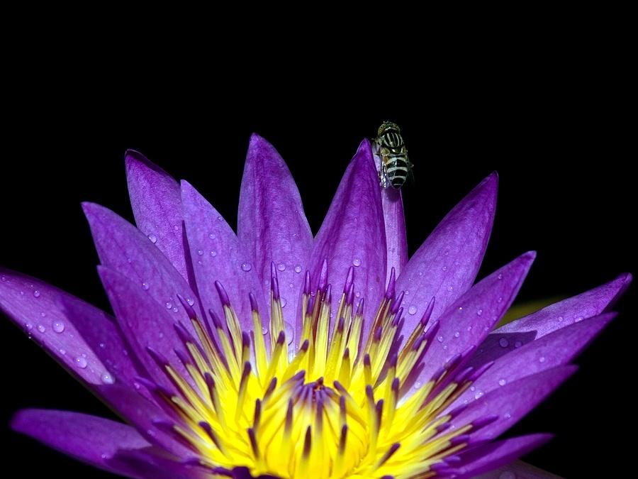 gyrbf作品:荷与蜂
