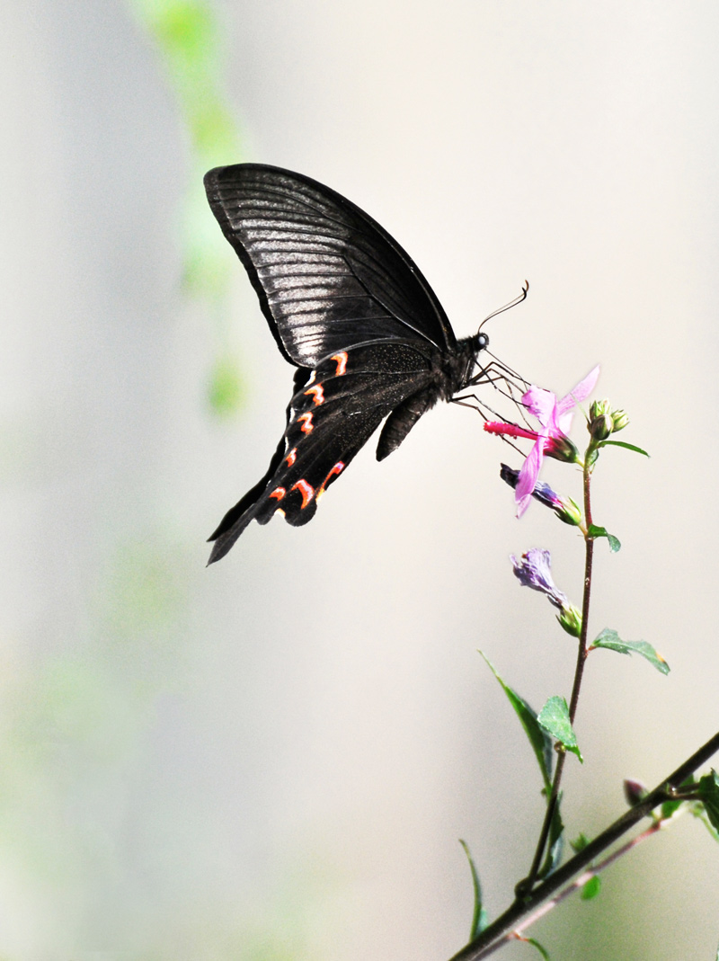 过山牛作品:蝶