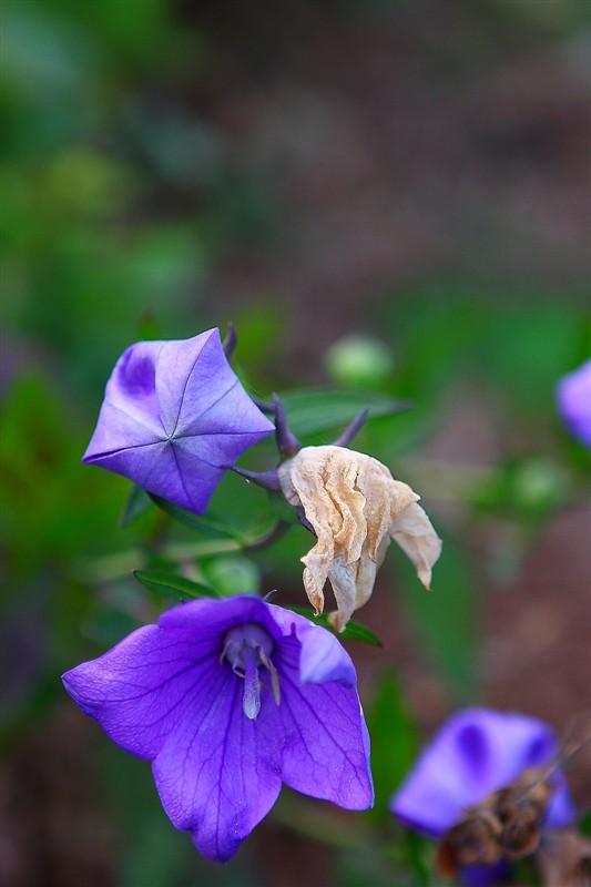 叶子11作品:桔梗花