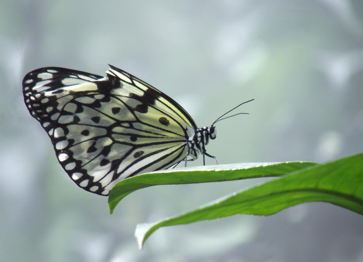 双瞳剪水作品:受伤的蝴蝶