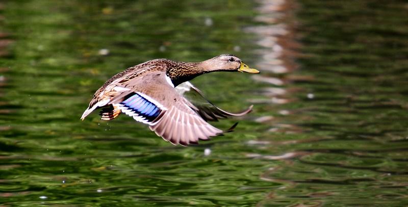 小程的故事作品:飞翔的麻鸭