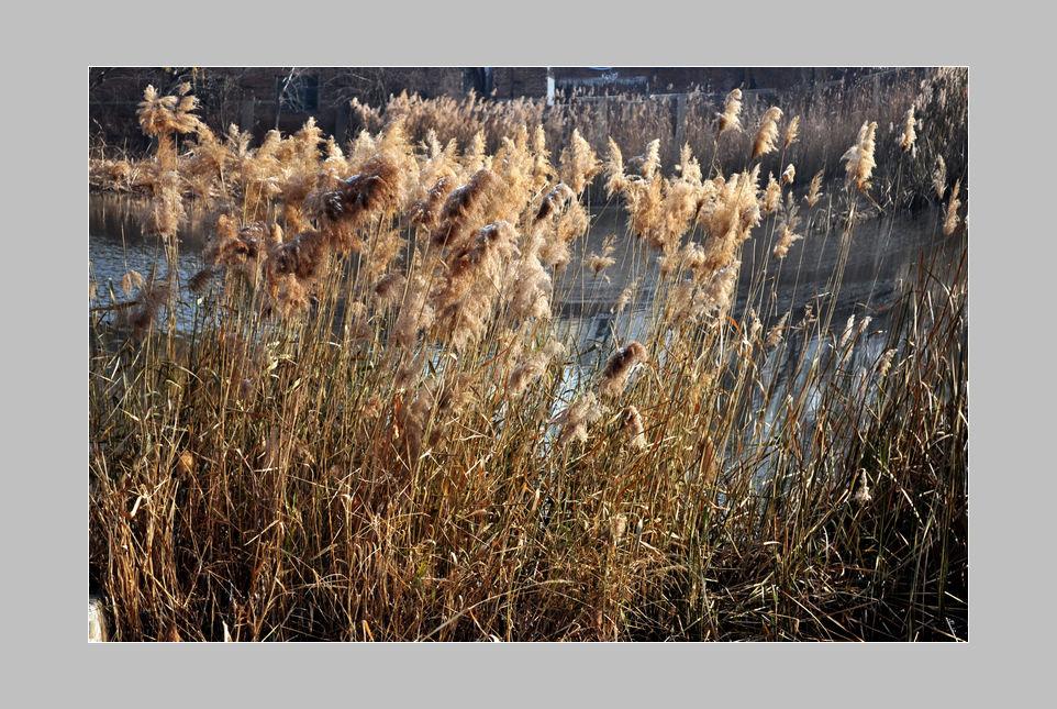 hfgl作品:冬天的芦苇