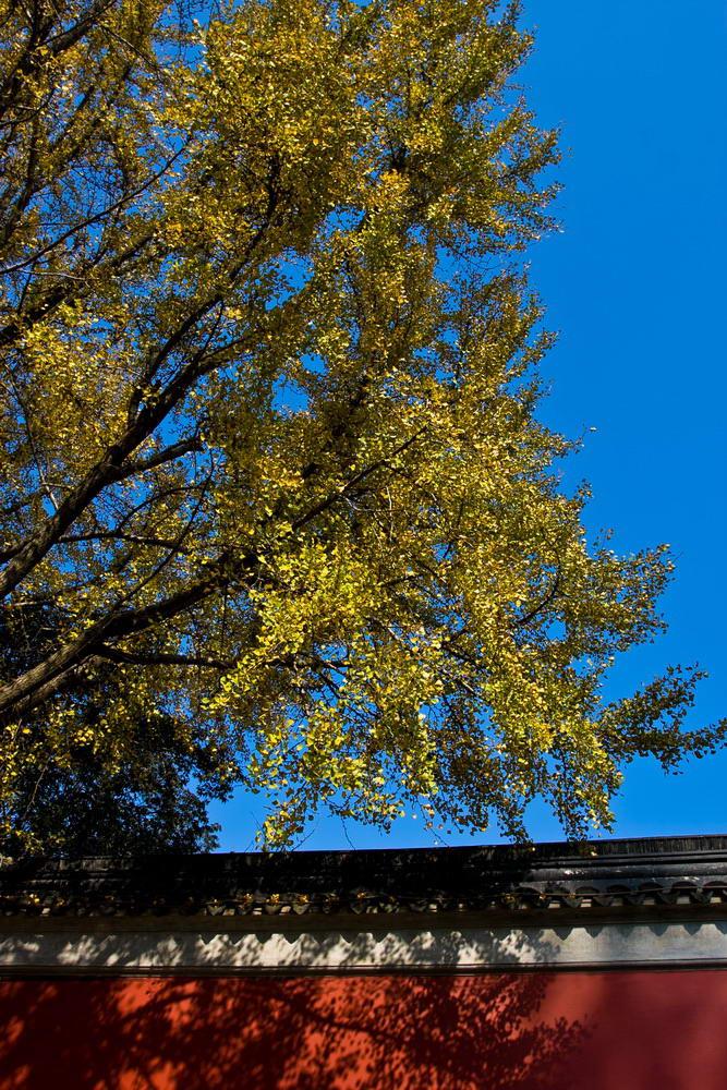 古寺门前一棵银杏树,挺美