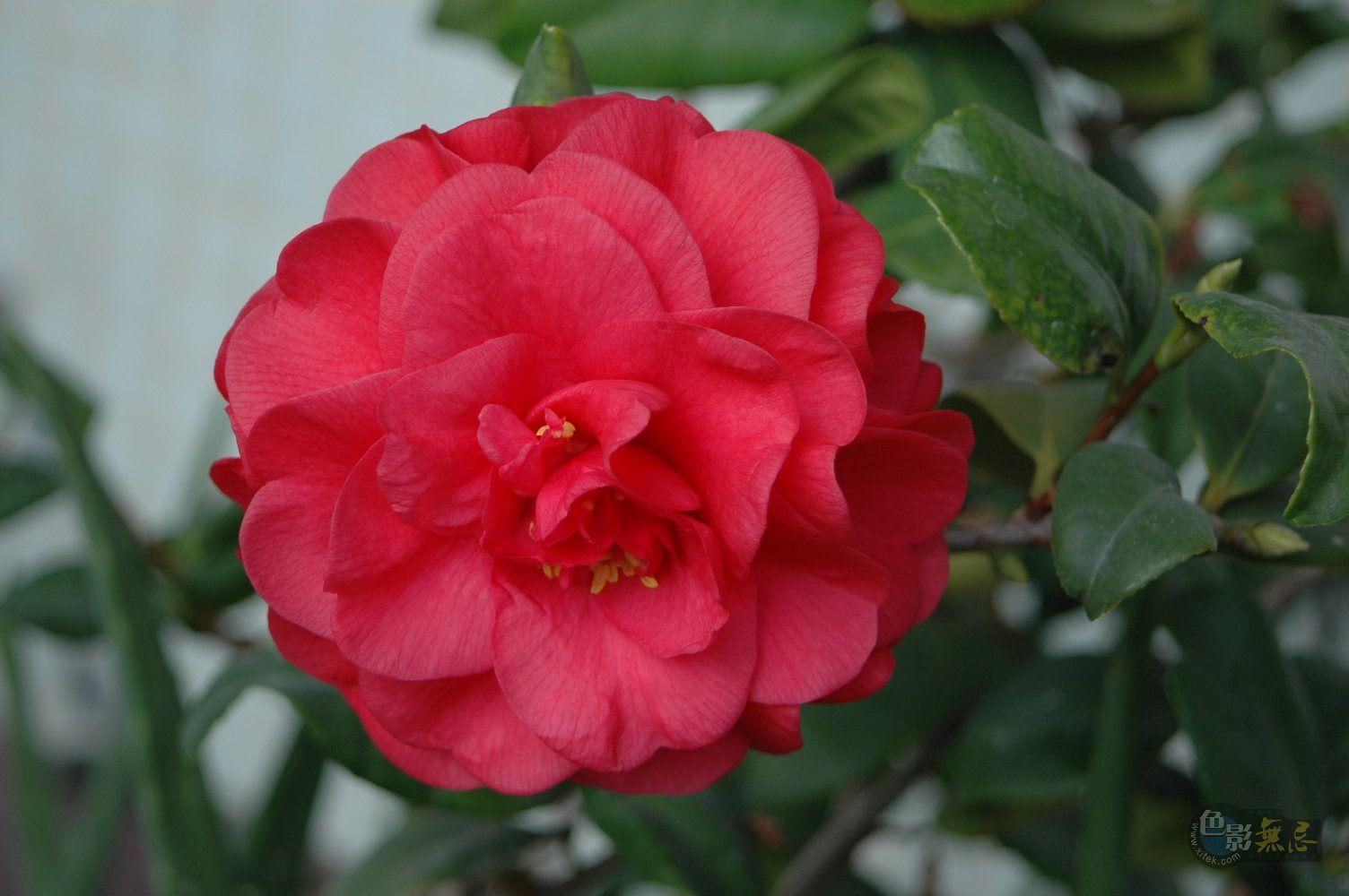 新野山人作品:一朵红花